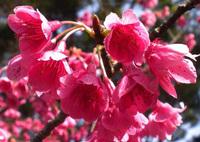 今帰仁ノルディックウォーキング大会ツアー 日本一早い桜咲く沖縄