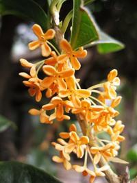 金木犀の香り osmanthus