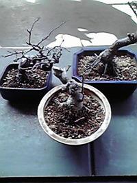 盆栽3鉢この夏、枯らしてしまった