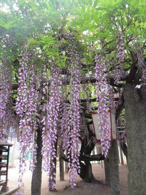 愛媛県 藤の名所~長福神社と藤森荒魂神社
