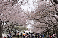 名残の桜と花見