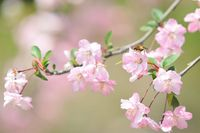 花海棠〈ハナカイドウ〉