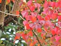 紅葉まつりが始まってますよー!