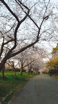 桜観測@大阪 千里南公園