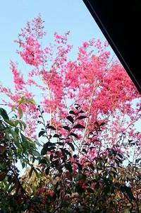 三田屋の庭 ベニバナトキワマンサク