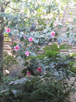 三田屋の庭withヒヨドリ?