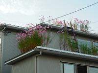 屋上緑化 コスモス