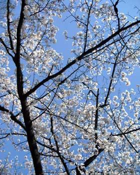 新ユニと桜と青空