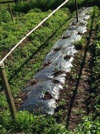 綿の苗を畑へ定植