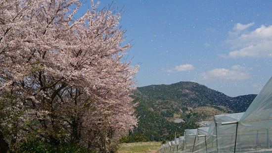 里山の桜吹雪♪