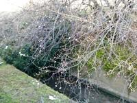 梅のつぼみが膨らんできました♪