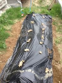 畑部!やっと生姜を植える!