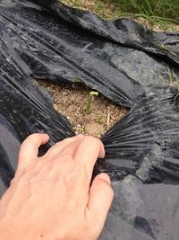 生姜の芽がたくさん伸びてきました!