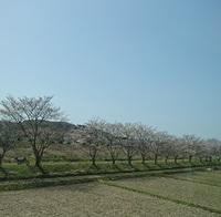 三田市武庫川の桜