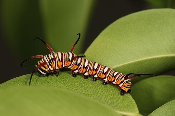 ツマムラサキマダラの幼虫
