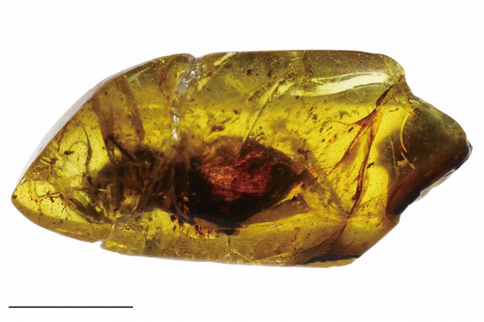 クジコハクトガマムシ標本全形