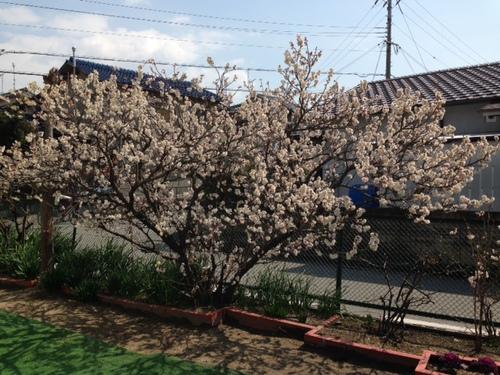 加古川 認定こども園孔雀保育園 園庭 桜の木