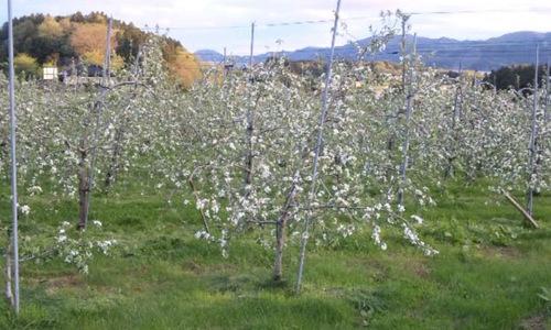 リンゴの花が、見ごろです!