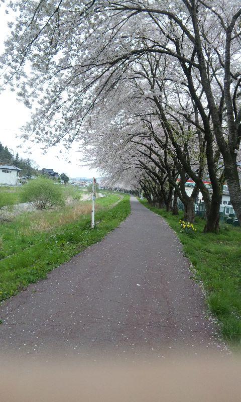 岩手県大船渡市内の桜は今が満開です!