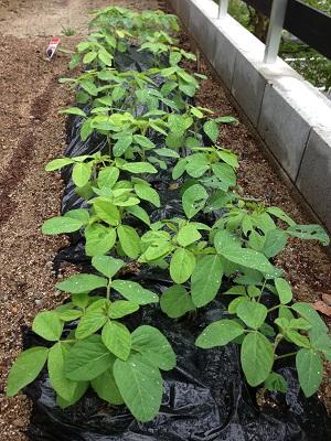 枝豆&紫蘇の2週間後の成長