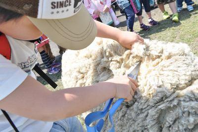 羊の毛刈りを行います