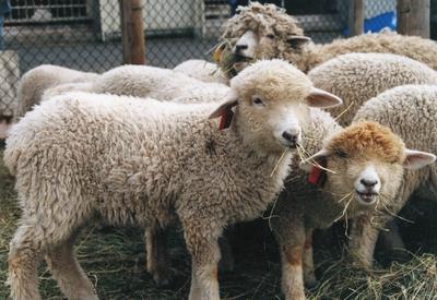 羊の毛刈り体験