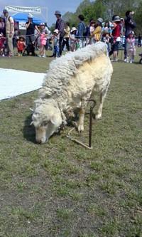 羊の毛刈りの毛を持ち帰った方へ―汚れた羊毛の洗い方
