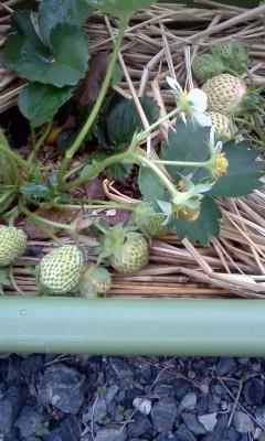 苺、収穫しました!