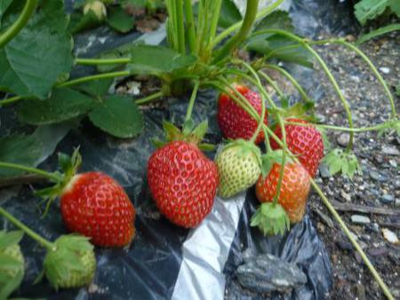 苺をたくさん実らせるには?苺の苗の殖やし方♪