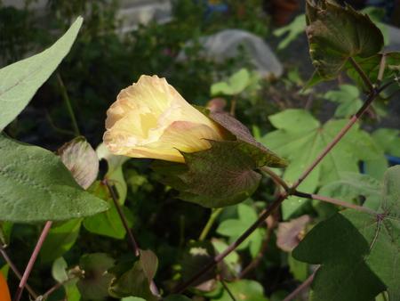 綿の花。コットンボール。成長中!