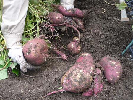 庭で芋掘り!~ツルはリースに♪食用に♪