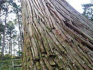 吉野杉 樹齢400年