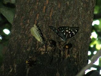 オオムラサキ雌