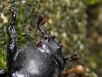 コカブトムシの小兜