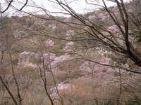 -終了しました- 4月8日 楽しむ春の低山ハイク-ヤマザクラをたずねてお花見ハイキング-