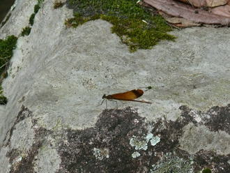 ミヤマカワトンボ