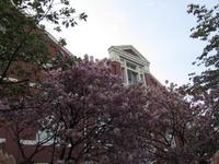 造幣局の通り抜け 今年の桜は天の川だそうです