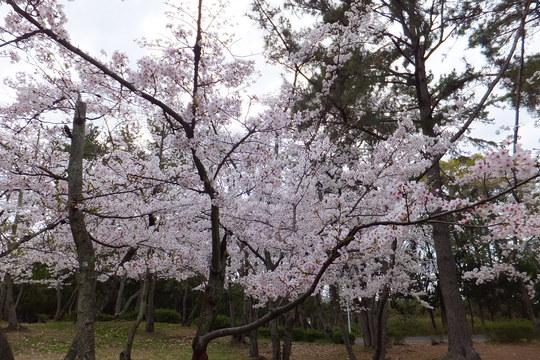豊中・服部緑地 「トナカイ花見」 豊中在住者を中心に花見をしてきました!