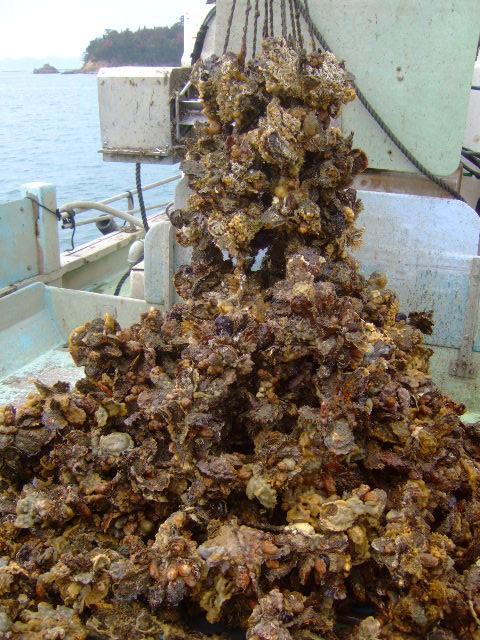 岡山・日生 「ひなせ牡蠣」 船で牡蠣漁を見学させて頂きました