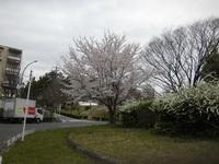 吹田市藤白台周辺の桜