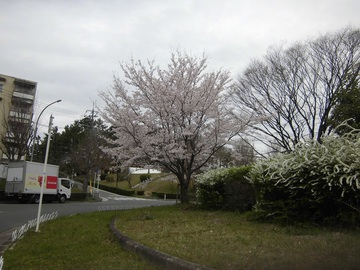 藤白台 桜