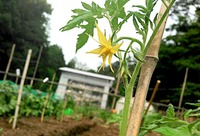 トマトを定植しました