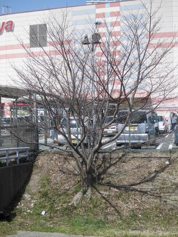市場池公園の今の桜