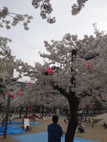 江坂公園の桜