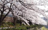 桜満開〜 新御堂筋のダイソー閉店