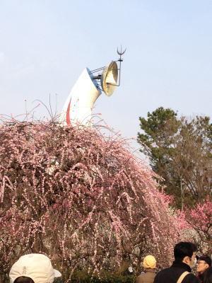 万博公園 太陽の塔 梅の花 梅見