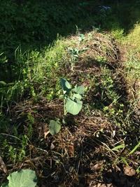 ブロッコリー定植