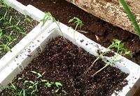トマト苗の植替え