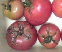 キズ物トマトは…