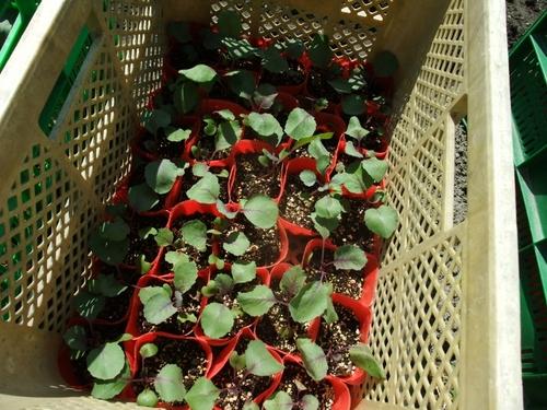 やなもり農園秋冬野菜苗植え付け大会